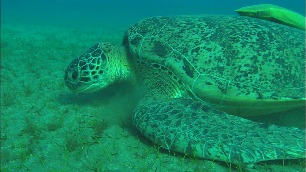 Turtle feeds, with remora on back, United Arab Emirates, Middle East