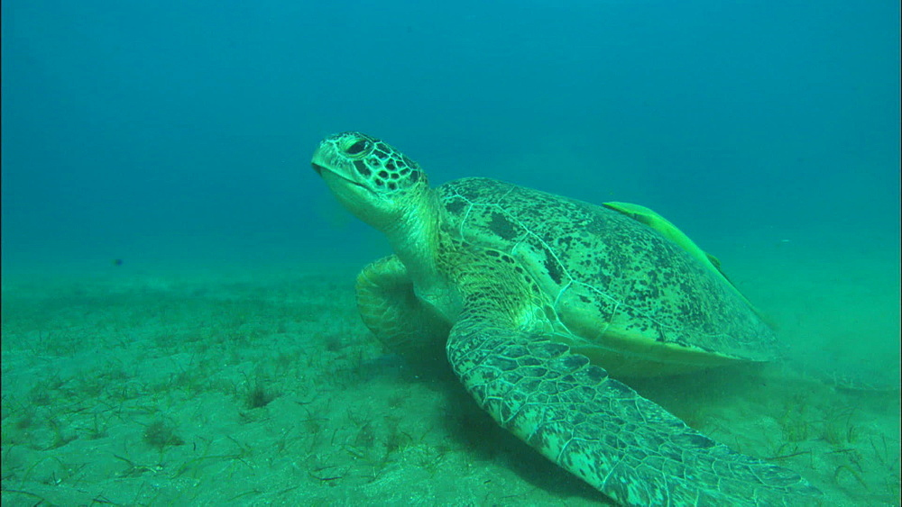 Turtle feeds, looks up, United Arab Emirates, Middle East