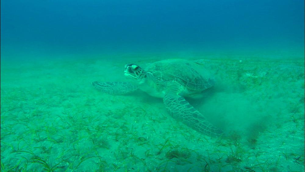 Turtle feeds, United Arab Emirates, Middle East
