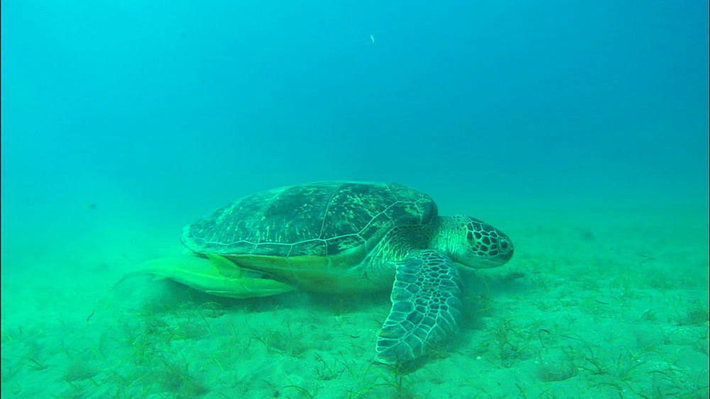 Turtle swims down to feed, United Arab Emirates, Middle East