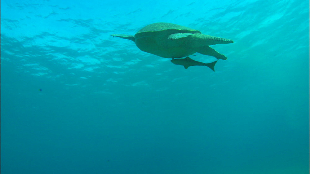 Turtle swims up to breathe with remora on back, United Arab Emirates, Middle East
