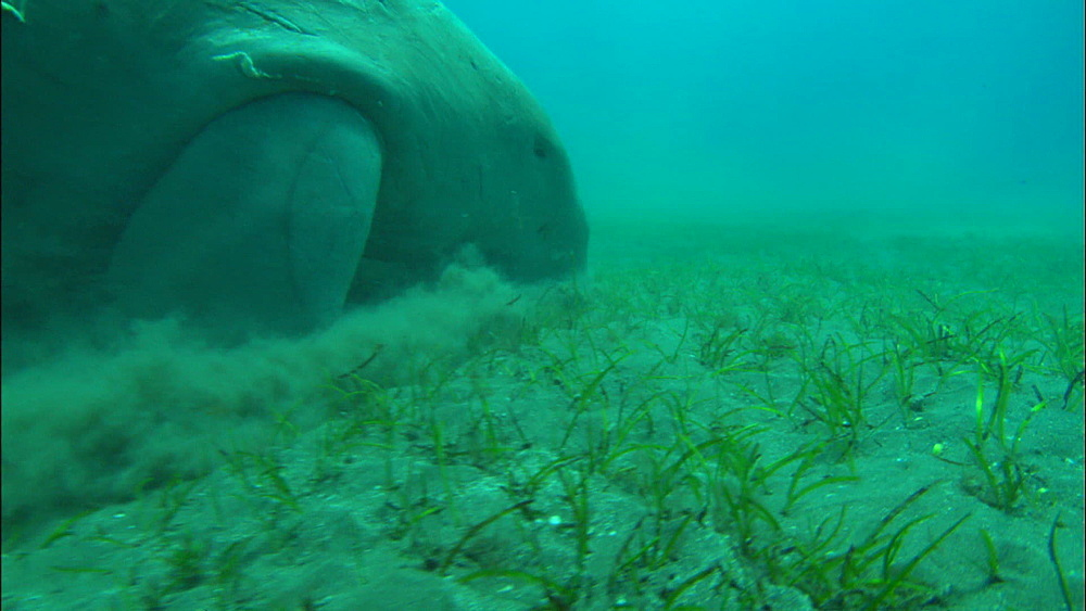 Dugong, feeding on eel grass, United Arab Emirates, Middle East - 1010-3465
