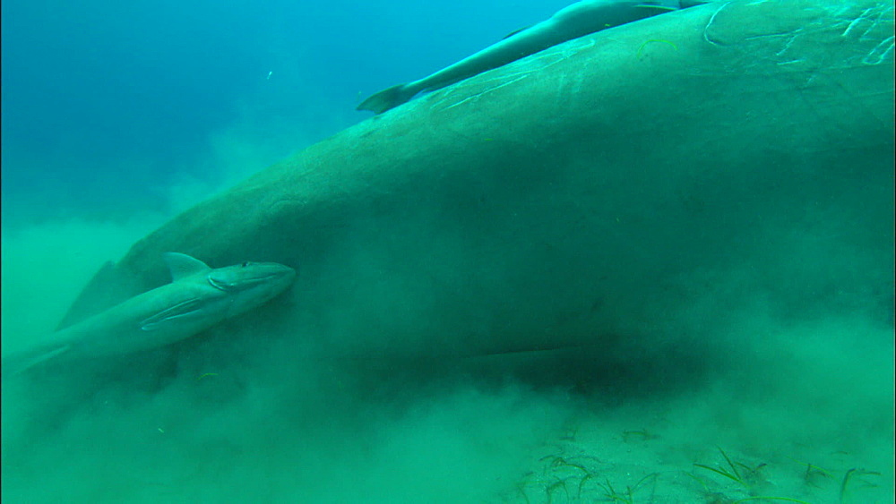 Dugong, feeding on eel grass, moves forward, remoras, United Arab Emirates, Middle East