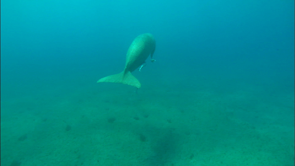Dugong feeding, swims off, top shot (looking down on to back), United Arab Emirates, Middle East
