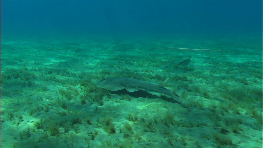Halavi Guitarfish (Rhinobatos halavi) (ray) swims along bottom, feeding, very rare, pipefish above, United Arab Emirates, Middle East