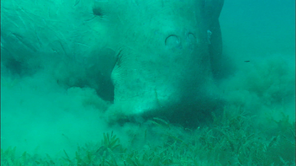 Dugong, feeding on eel grass, United Arab Emirates, Middle East - 1010-3478