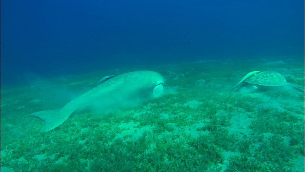 Turtle and dugong feeding on eel grass, United Arab Emirates, Middle East