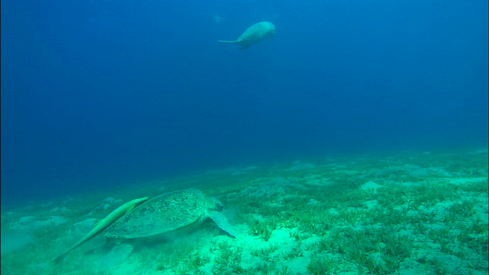 Turtle, dugong swims up, United Arab Emirates, Middle East