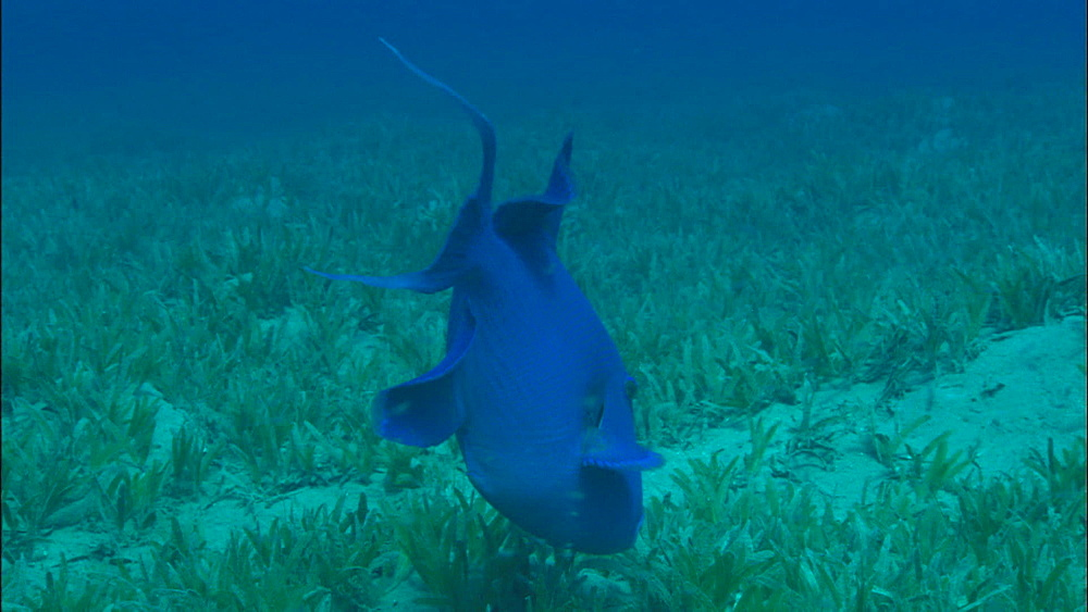 Blue Triggerfish (Pseudobalistes fuscus) feeds in eel grass, Egypt, Africa