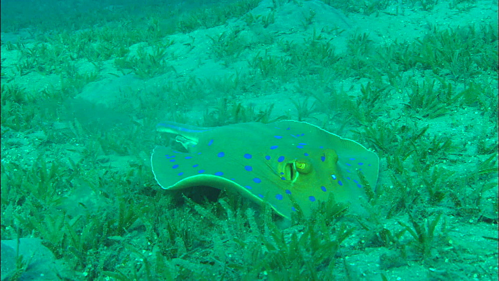 Blue-spotted ribbon ray, eelgrass, sand, swims away, CS -MWA. United Arab Emirates - 1010-3486