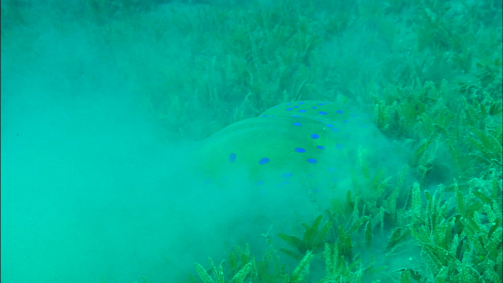 Blue-spotted ribbon ray feeding on eel grass, United Arab Emirates, Middle East