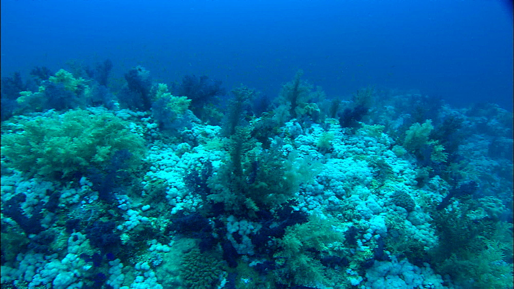 Coral, reef, track, Egypt, Africa