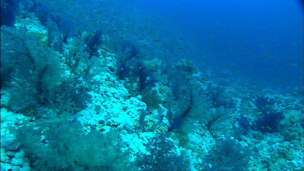 Coral reef, soft corals, track, fish, Egypt, Africa - 1010-3496