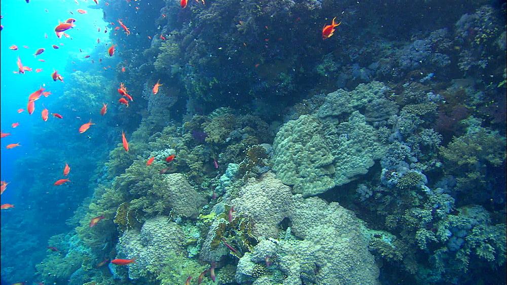 Coral, reef, anthias, Egypt, Africa - 1010-3497