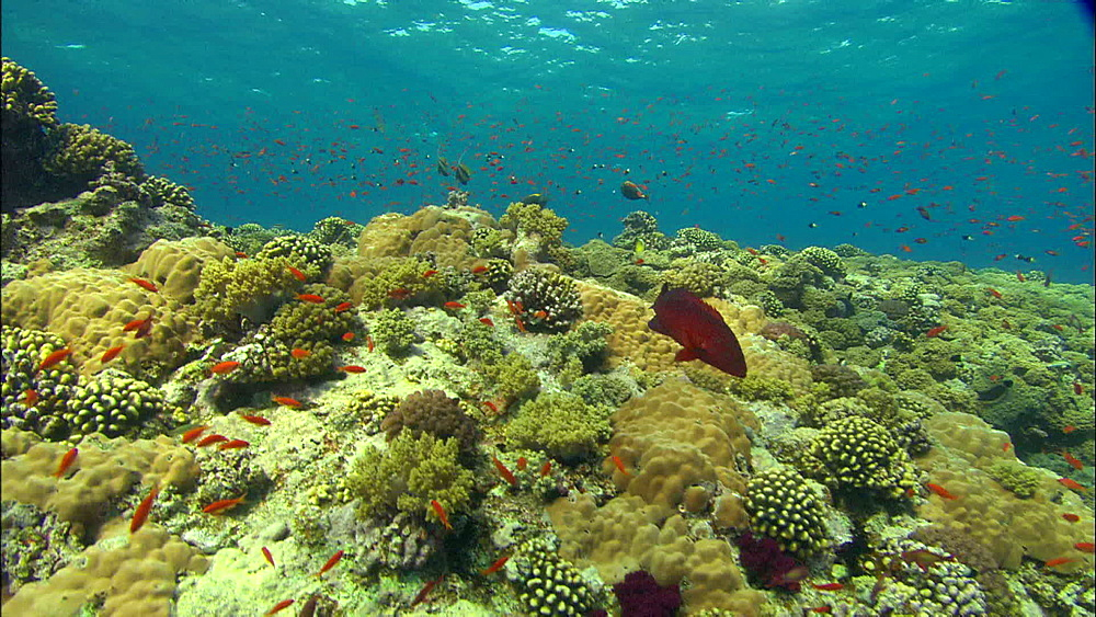 Coral, reef, anthias, Egypt, Africa - 1010-3499