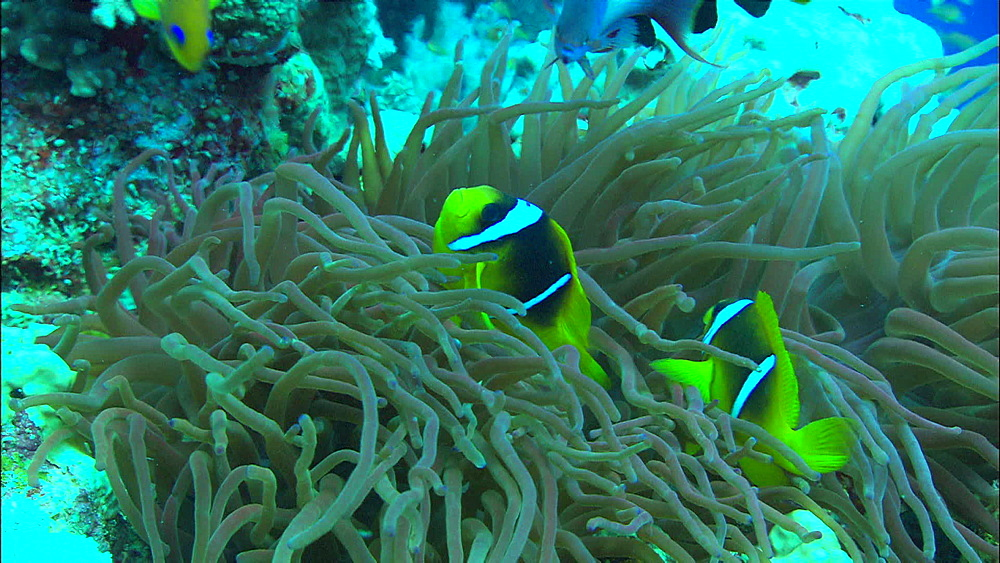 Anemone (snakes locks) two banded anemonefish (Amphiprion bicinctus), reef fish, Egypt, Africa