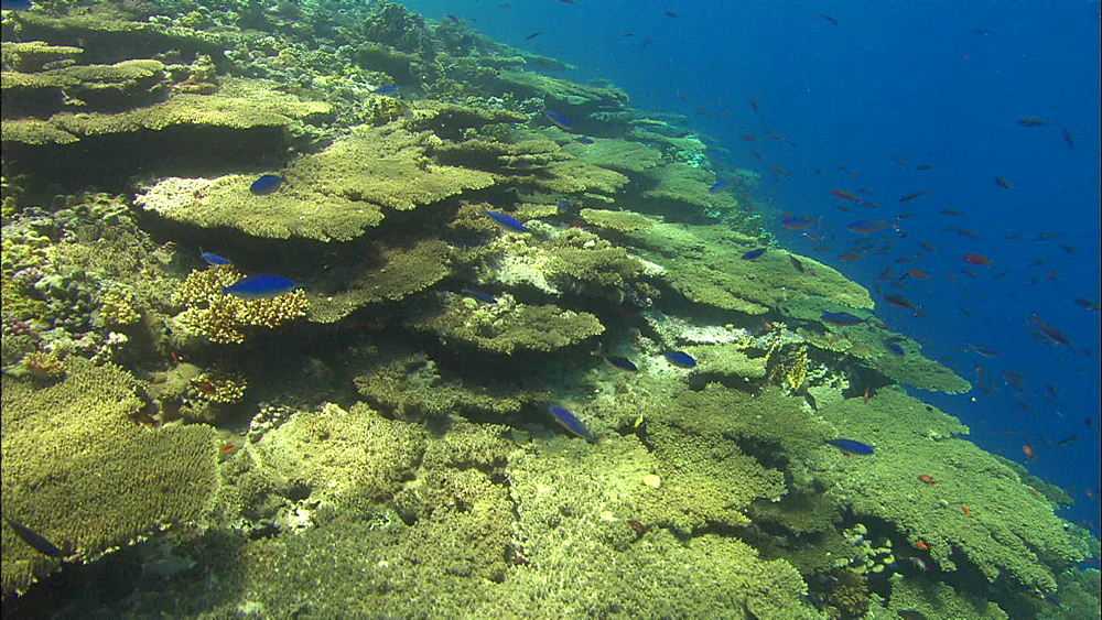 Coral, reef wall, fish, track, Egypt, Africa