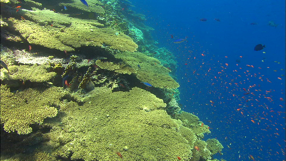 Coral reef, fish, track, Egypt, Africa - 1010-3504