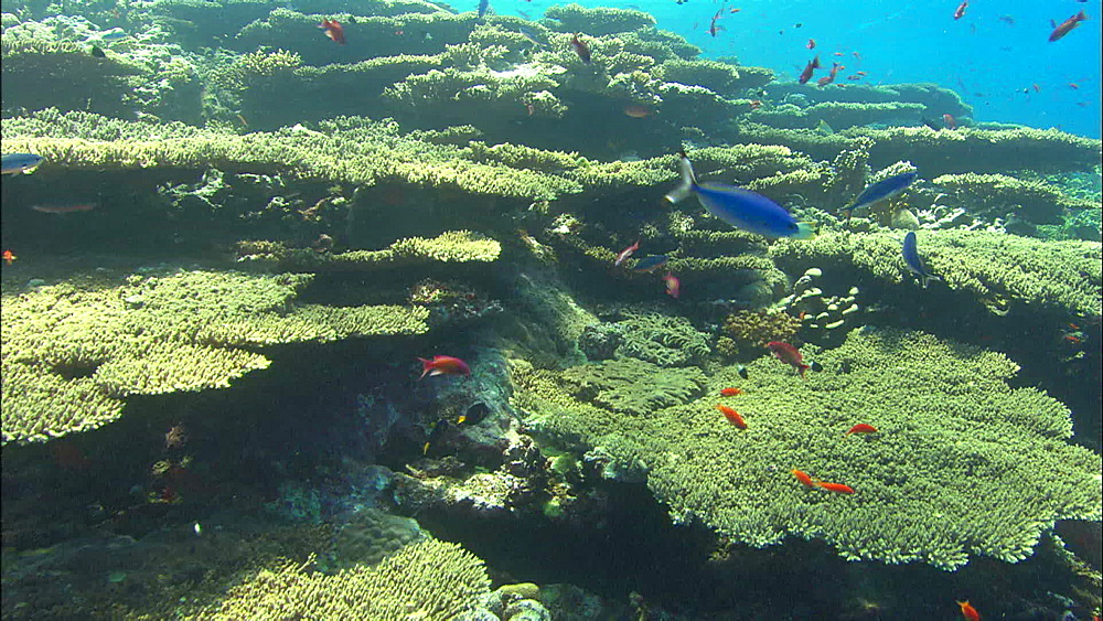 Coral reef, edge wall, lots fish, track, Egypt, Africa