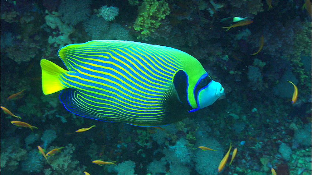 Emperor angelfish (Pomacanthus imperator), Egypt, Africa - 1010-3507