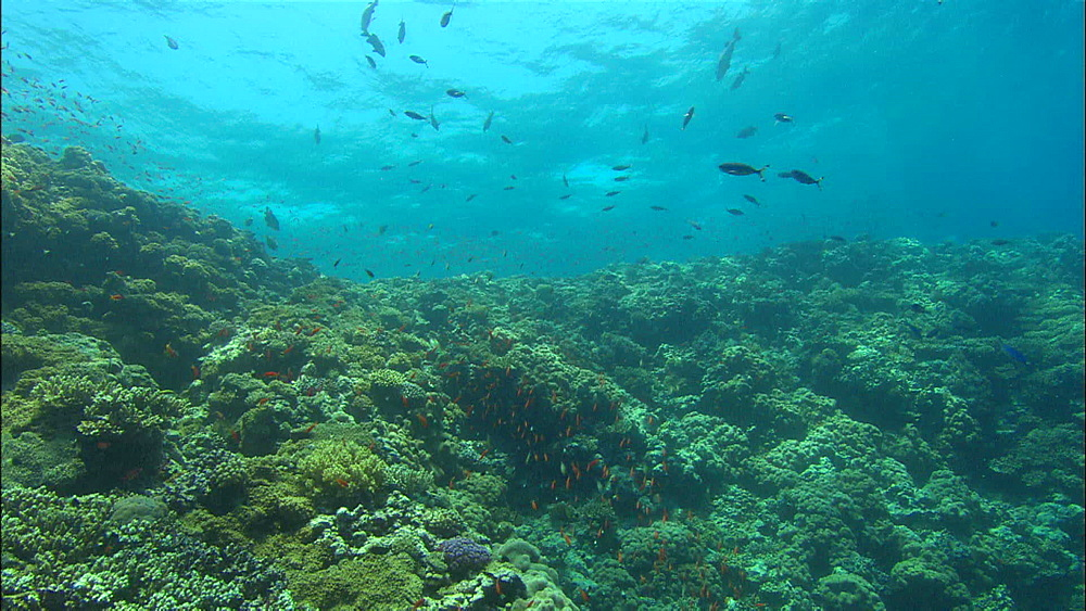 Coral reef, track, Egypt, Africa