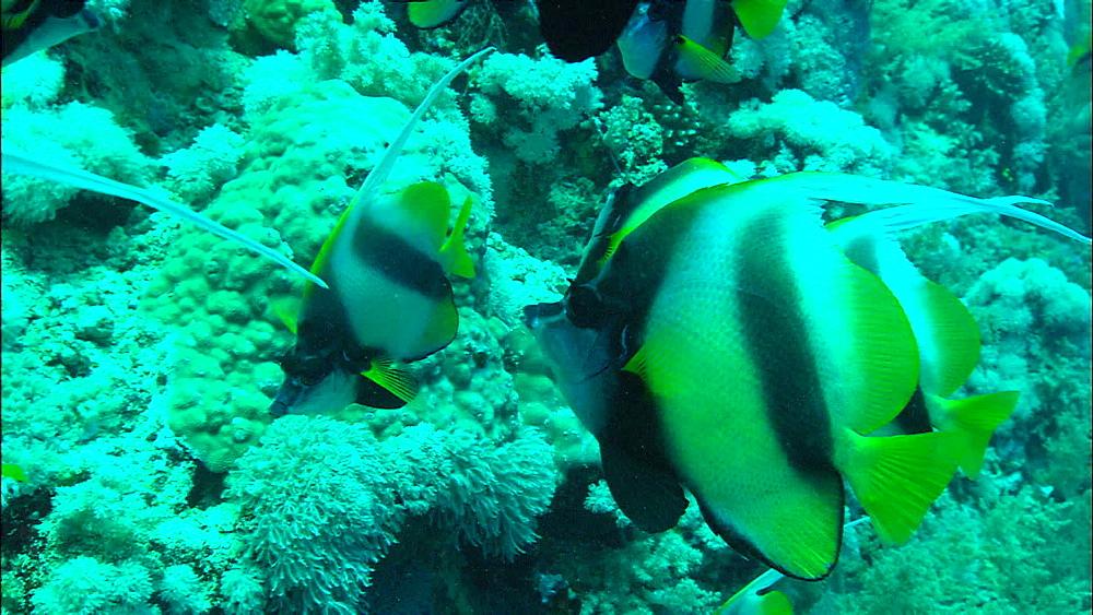 Red Sea bannerfish (Heniochus intermedius), Egypt, Africa