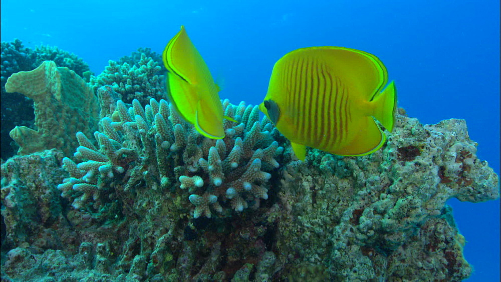 Golden Butterflyfish (Chaetodon semilarvatus) pair, hard coral, staghorn, Egypt, Africa - 1010-3513