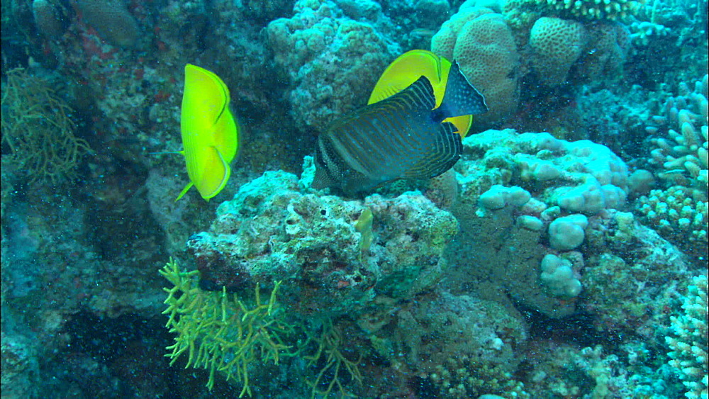Golden Butterflyfish (Chaetodon semilarvatus) pair, hard coral, staghorn, Egypt, Africa - 1010-3514