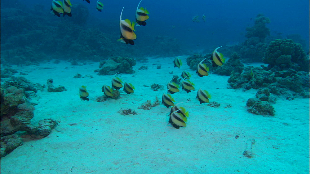 Longfin Bannerfish (Heniochus diphreutes) shoal, over reef, Saudi Arabia, Middle East - 1010-3518