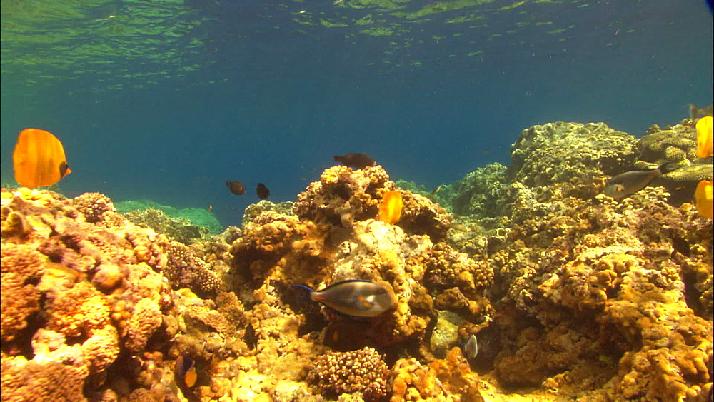 Coral reef, large shoal, golden butterflyfish (Chaetodon semilarvatus), track, Saudi Arabia, Middle East - 1010-3524
