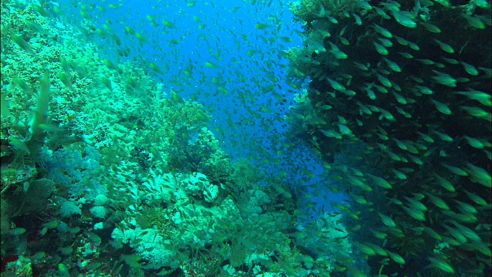Coral reef, myriad fish, track, Red Sea, Saudi Arabia, Middle East - 1010-3525