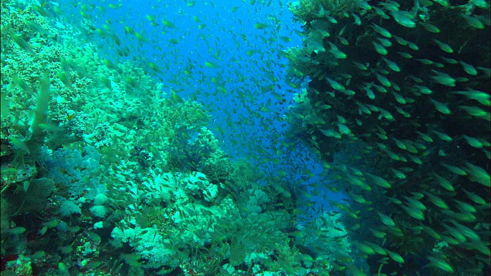 Coral reef, myriad fish, track, Red Sea, Saudi Arabia, Middle East