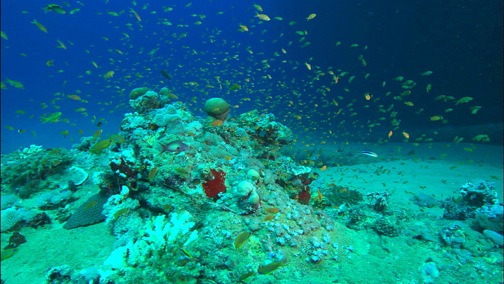 Coral, fish, Red Sea, Saudi Arabia, Middle East - 1010-3528