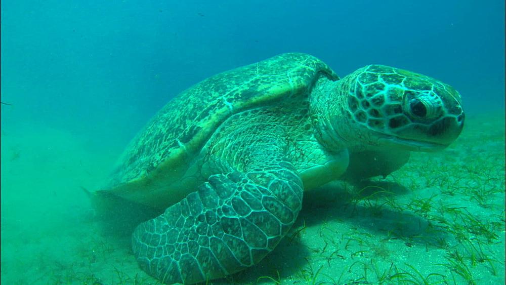 Turtle, eating, United Arab Emirates, Middle East