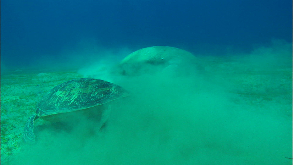 Green turtle and dugong feed on eel grass, United Arab Emirates, Middle East