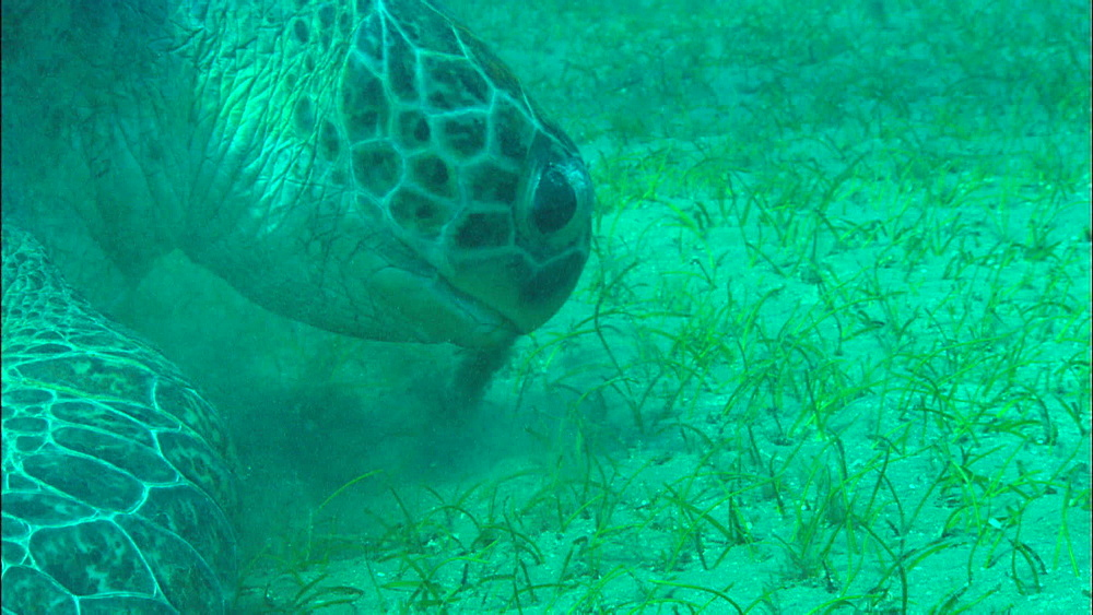 Green turtle feeds on eel grass, United Arab Emirates, Middle East
