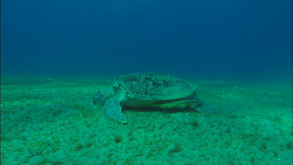 Two green turtles feed on eel grass, track to turtles. huge remora swims and attaches to turtle, United Arab Emirates, Middle East
