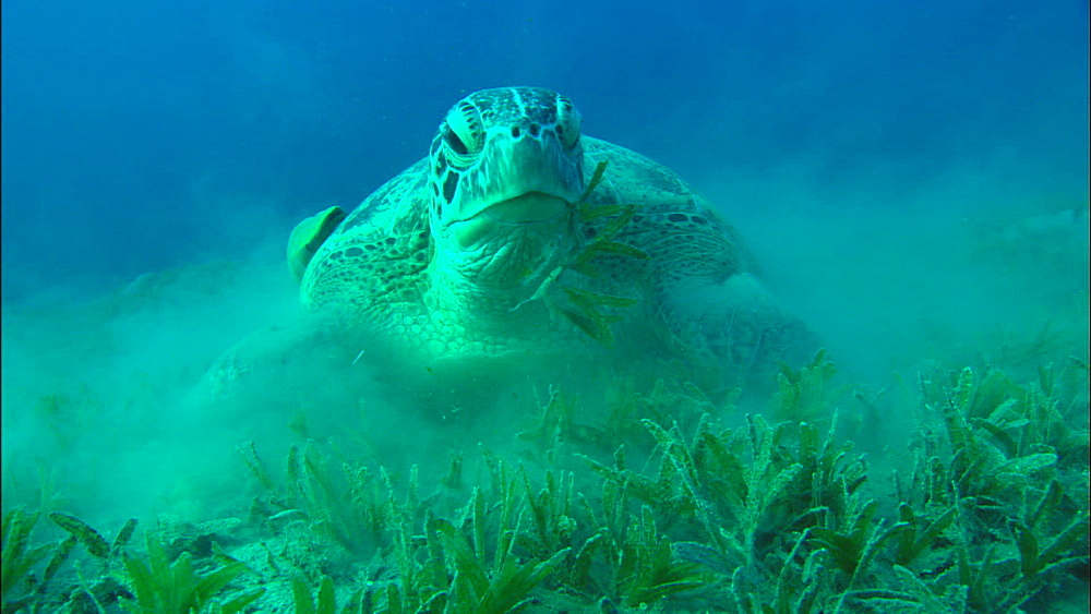 Green Turtle feeds on eel grass, United Arab Emirates, Middle East - 1010-3540