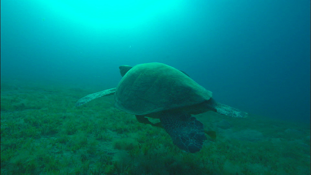 Green turtle swims, United Arab Emirates, Middle East
