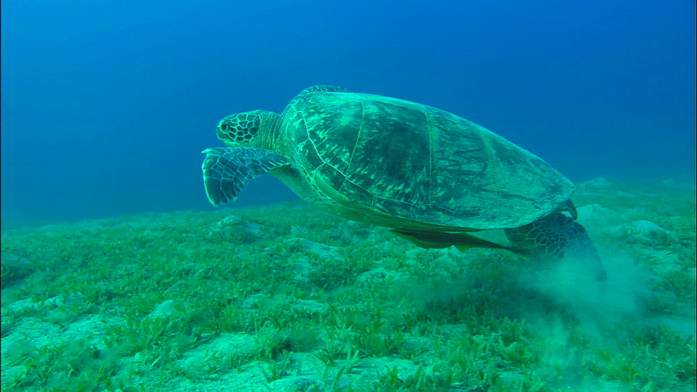 Green turtle swims, stops to feed on eel grass, United Arab Emirates, Middle East