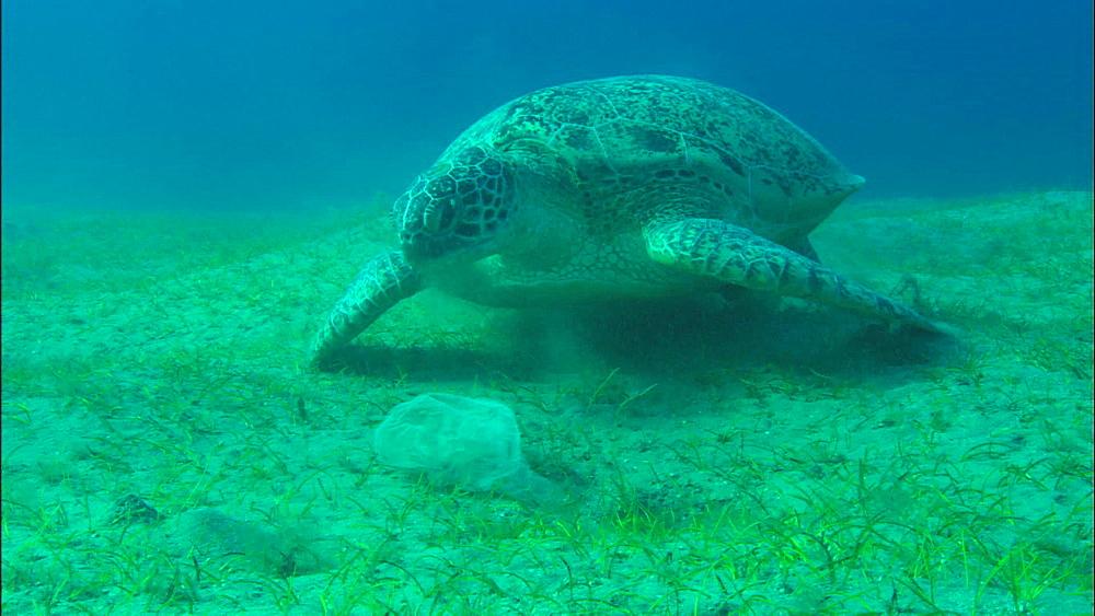 Turtle and plastic bag underwater, United Arab Emirates, Middle East