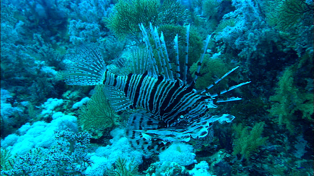 Lion fish (Pterois miles), coral reef, Red Sea, Egypt, Africa