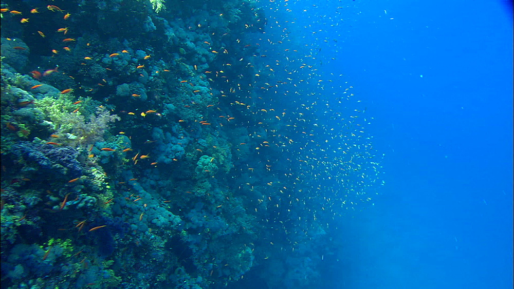 Reef wall, anthias, track, Red Sea, Egypt, Africa