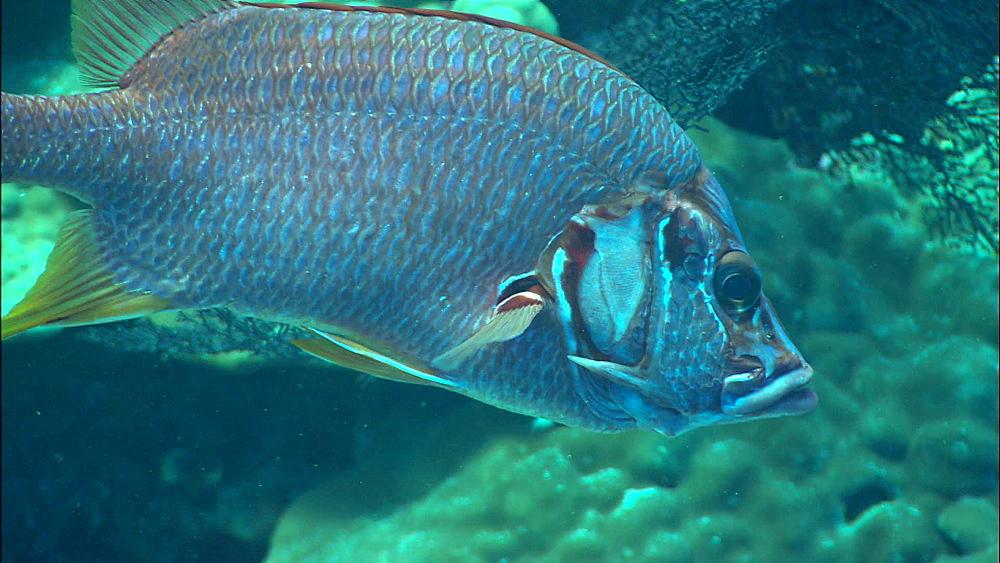 Reef wall, Sabre squirrelfish (Sargocentron spiniferum), Red Sea, Egypt, Africa