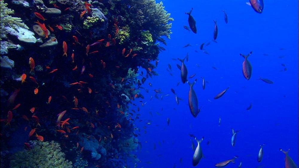 Reef wall, anthias, Suez fusiliers, Red Sea, Egypt, Africa