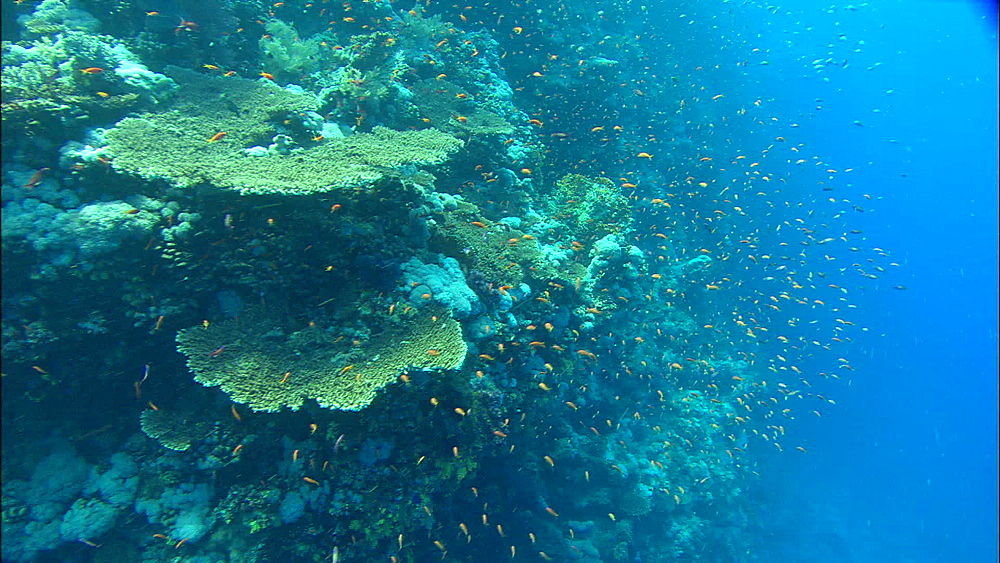 Reef, wall, track, reef fish, Red Sea, Egypt, Africa