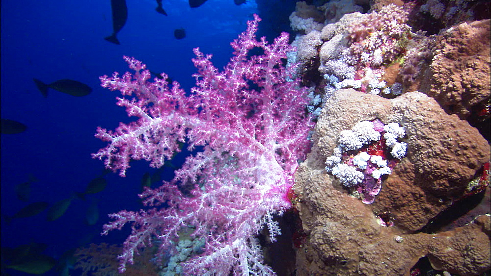 Soft coral, pink, hard coral small, Red Sea, Egypt, Africa