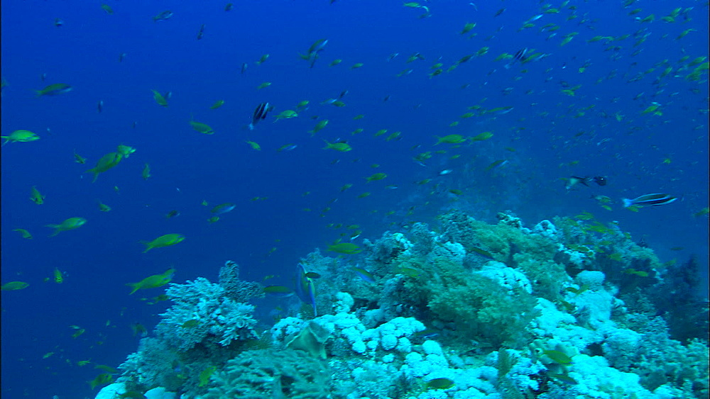 Reef, anthias, fish, coral, Red Sea, Egypt, Africa