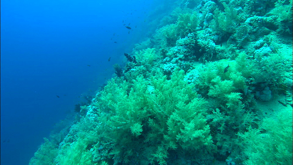 Soft coral, reef  track, Red Sea, Egypt, Africa