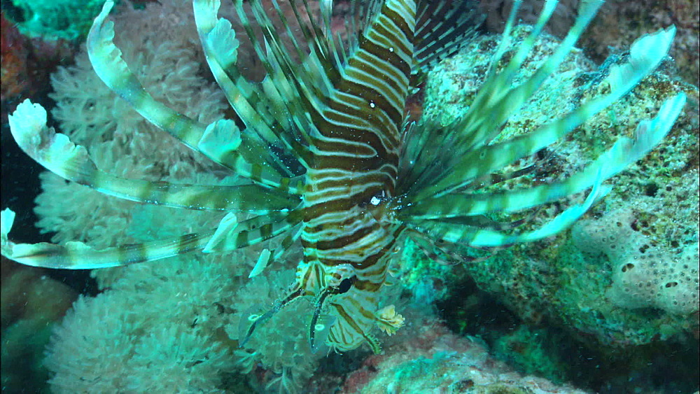 Lion fish (Pterois miles), high angle, looking down, coral reef, Red Sea, Egypt, Africa